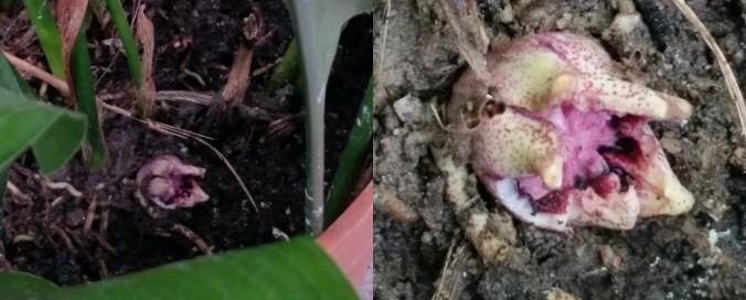 Aspidistra flower
