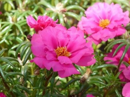 portulaca-grandiflora-9197_1920