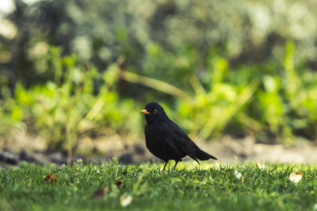 common-blackbird-1287217_1920 (1)