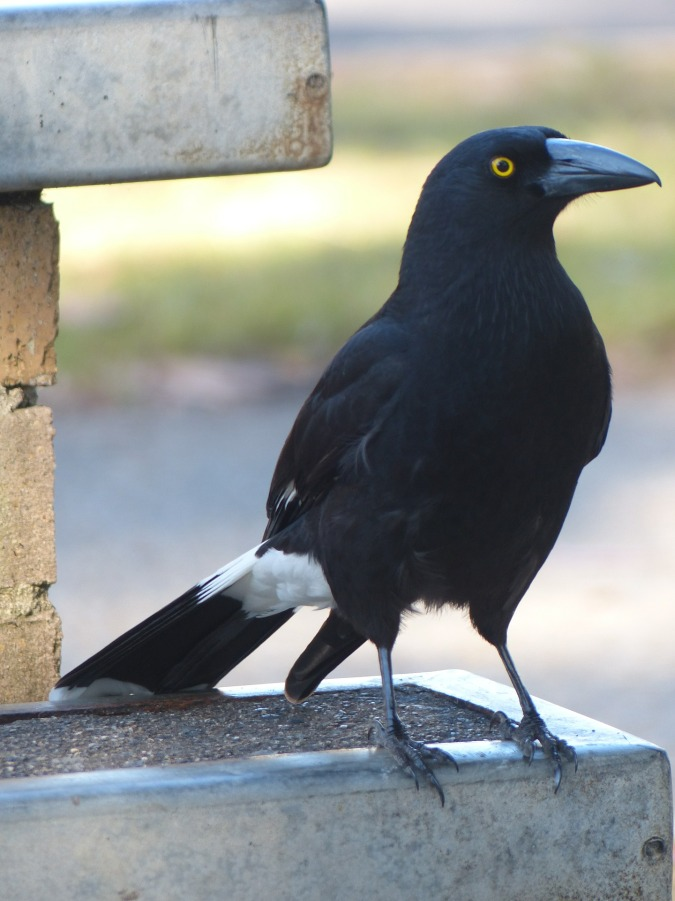currawong-415272_1920
