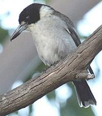 img_4132_greybutcherbird