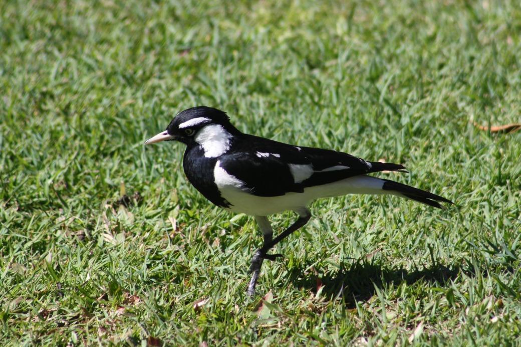 magpie-lark-3591318_1920