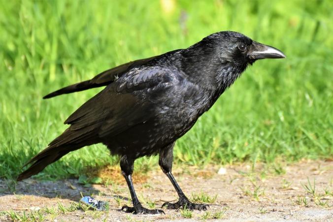 raven-3448199_1920 (3)