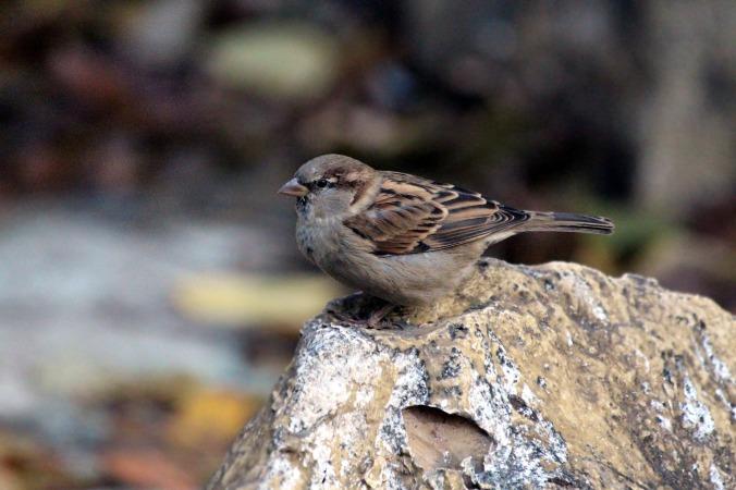 sparrow-3087788_1920 (1)