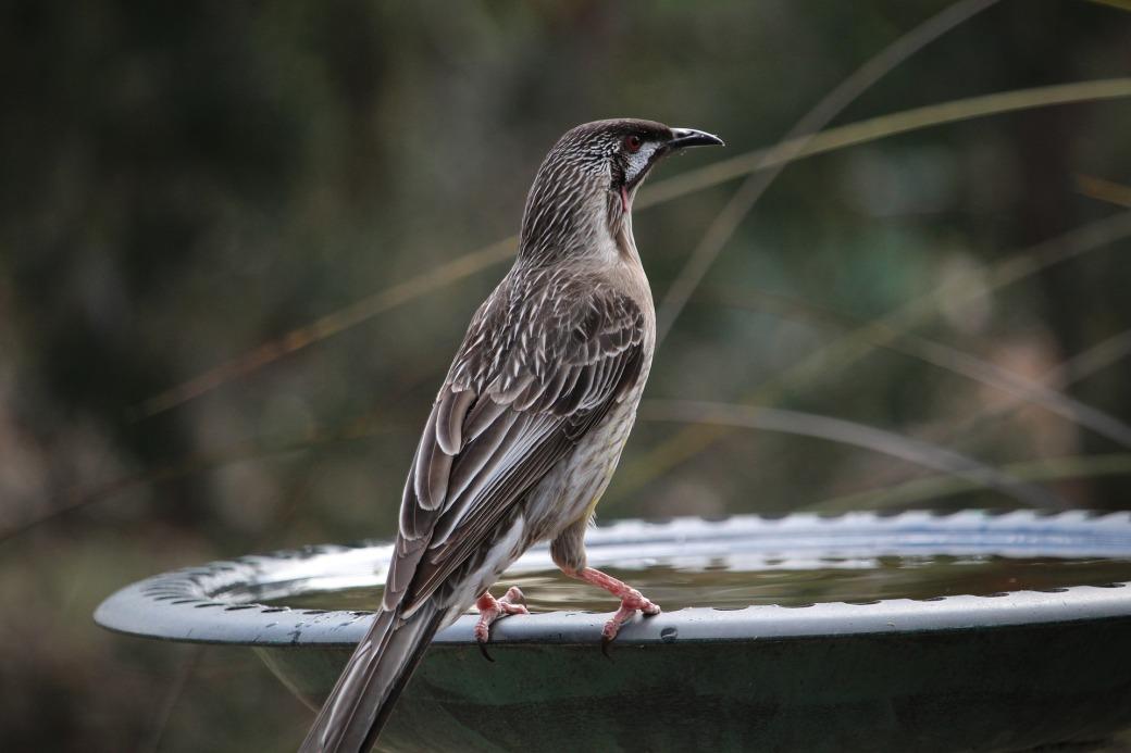wattlebird-2311204_1920