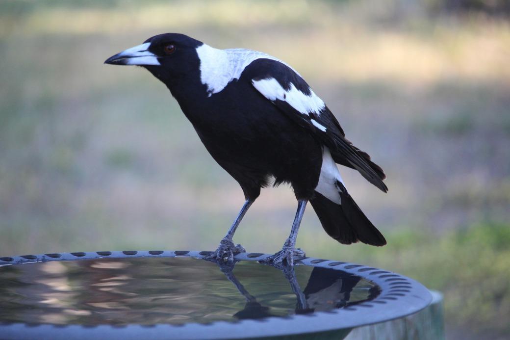 australian-magpie-2863134_1920